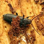 pine beetle photo