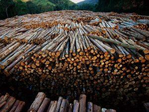 eucalyptus-logs_