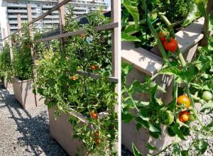 tomatoes-rooftop-garden