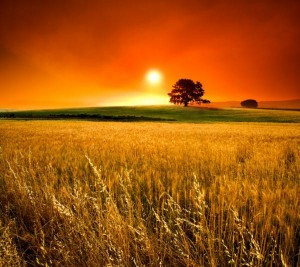 wheat fields-large
